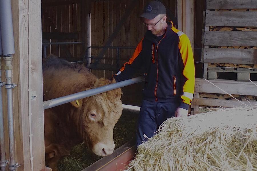 Limousintjuren Hugo gillar att bli ompysslad, lite kli bakom örat är aldrig fel.