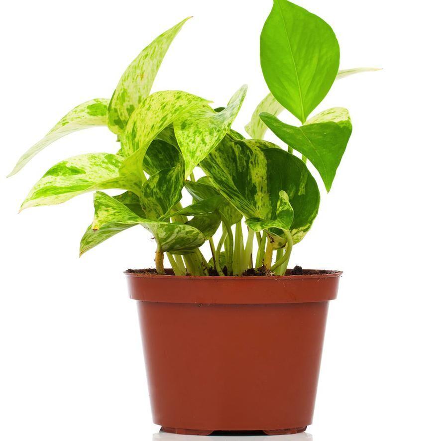 Epipremnum aureum (family Araceae) plant in pot, isolated on white background. family Araceae