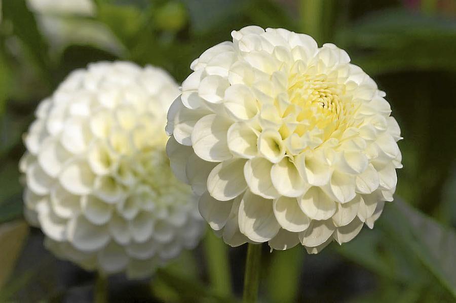 Fyllig. Pompondahlian 'Snowflake' har snövita, tätt fyllda och helt runda vita blommor. Hon blir 80 centimeter hög och blommar från mitten av juni.