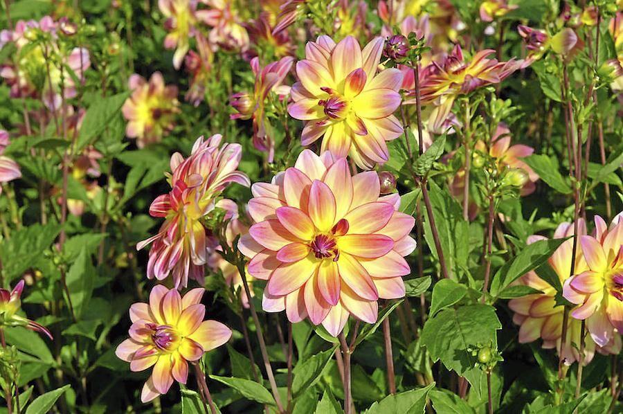 Buskig. Näckrosdahlian 'Pacific Ocean' bildar buskar. Blir 75 centimeter hög och blommar från mitten av juli.