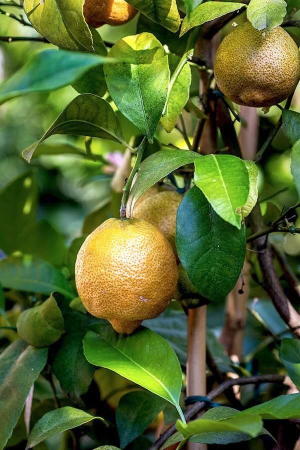 c-tangerin
