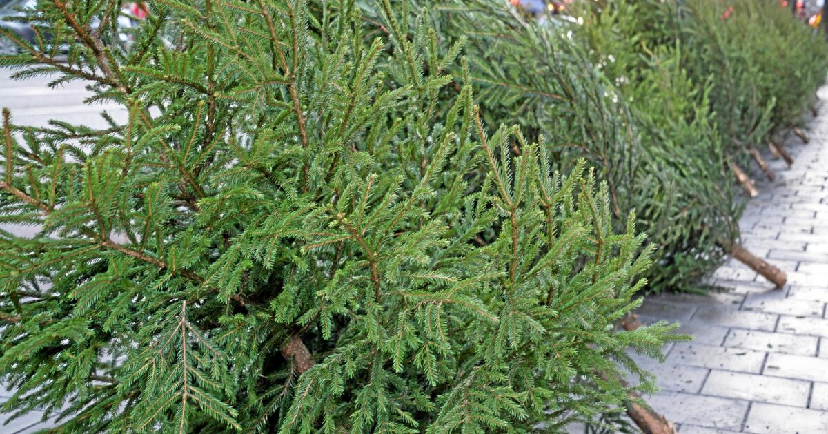 great opportunities for swedish christmas tree cultivation - Swedish Christmas Tree