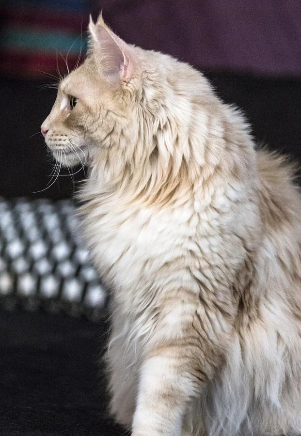 Kolla profilen. En lejonlik haka är typisk för Maine Coon. Foto: Lotta Silfverbrand