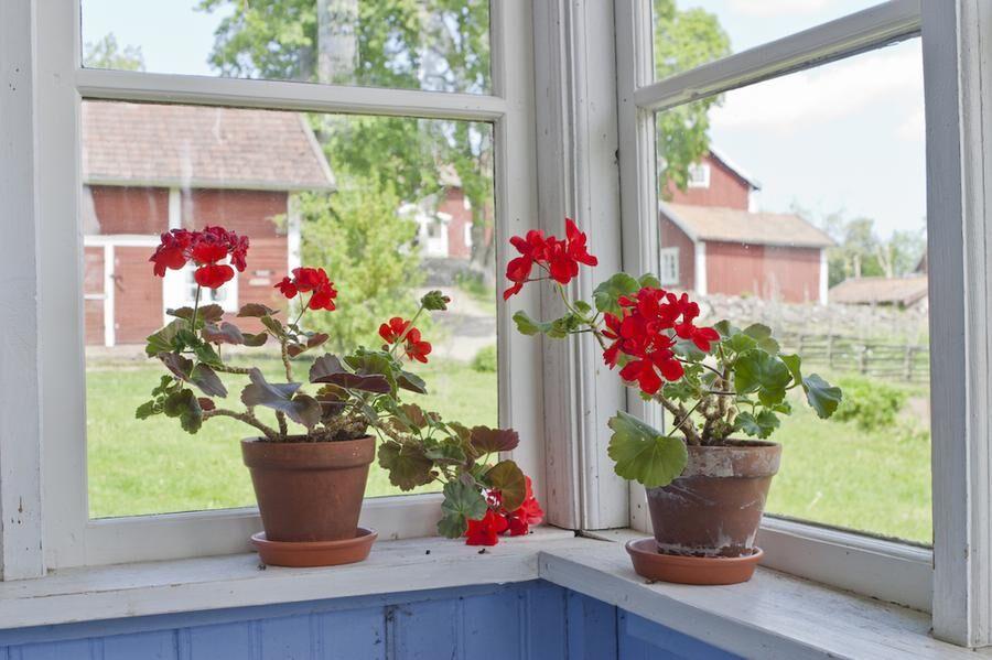 Svalt fönster, finfint för vinterpelargonen.