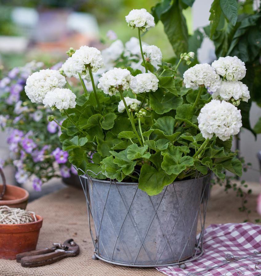 Rosenknoppspelargon som blommar länge. Foto: Blomsterfrämjandet/Minna Mercke Schmidt