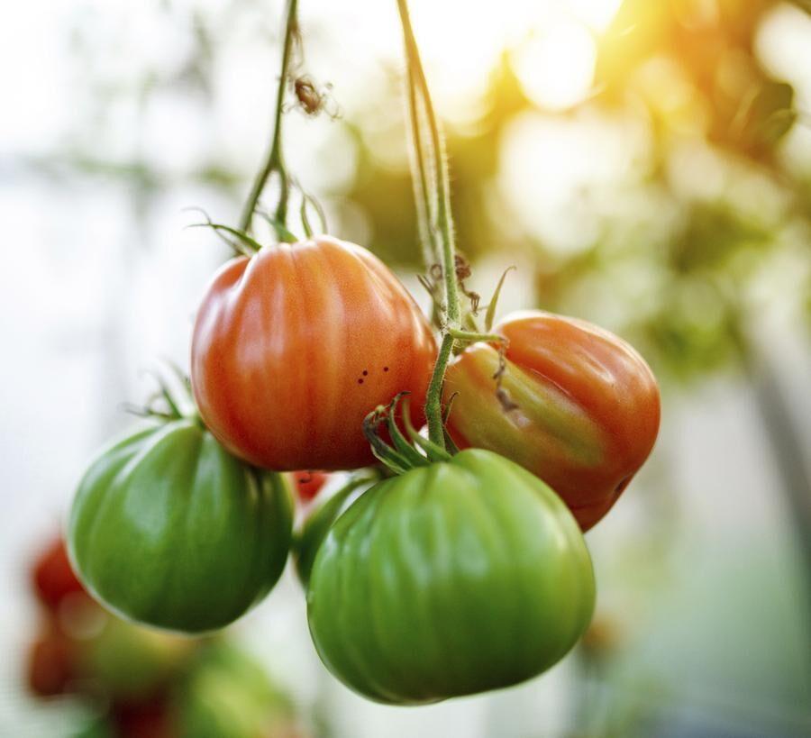 Natural tomato greenhouse