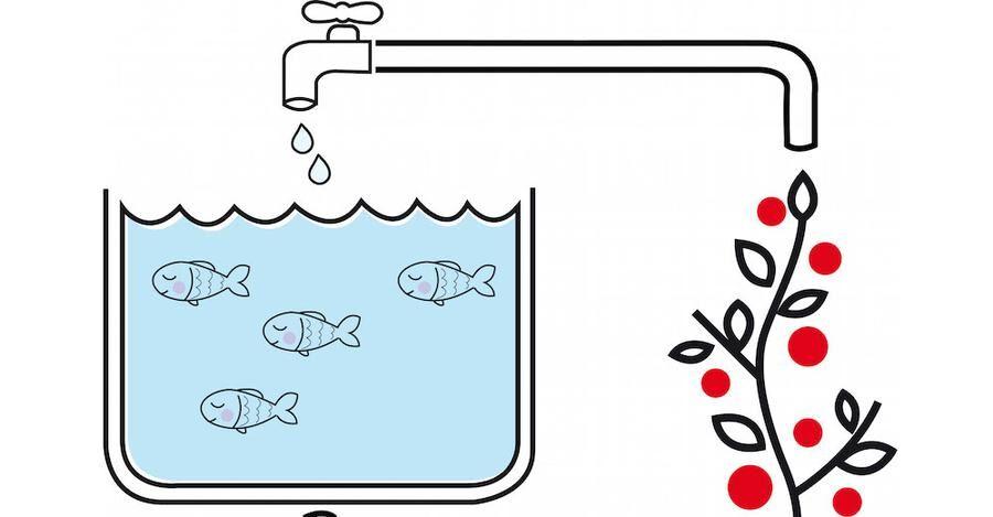 Ett miljövänligt kretsopp - fiskarna ger näring och växtbädden renar vattnet.