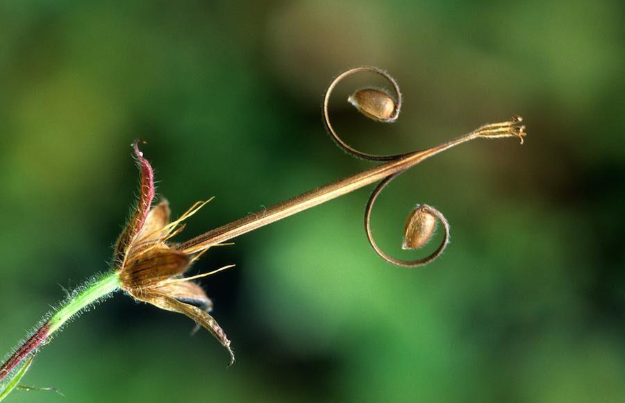 seedhead of Geranium nodosum