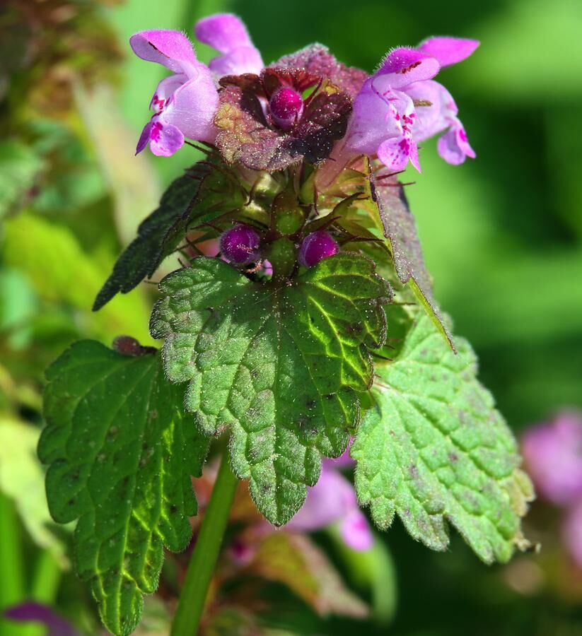 Lamium purpureum, Red Deadnettle