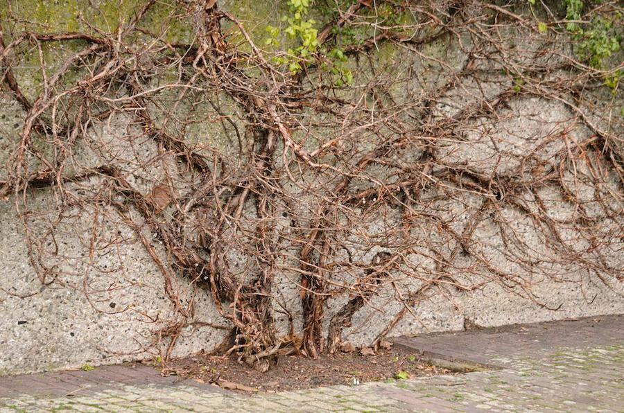 Vintertid blir plantan en skulptur med vackra kanelbruna grenar. Foto. IBL