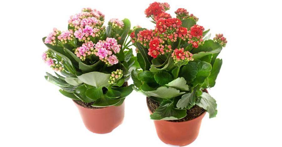 Kalankoen är en av blomsterbranschens favoriter och finns i handeln året om.