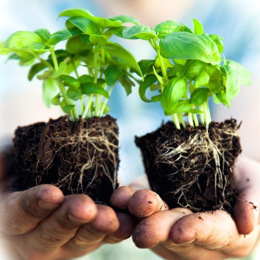 En planta blir två men var försiktig, grenarna är sköra. Foto: Istock.