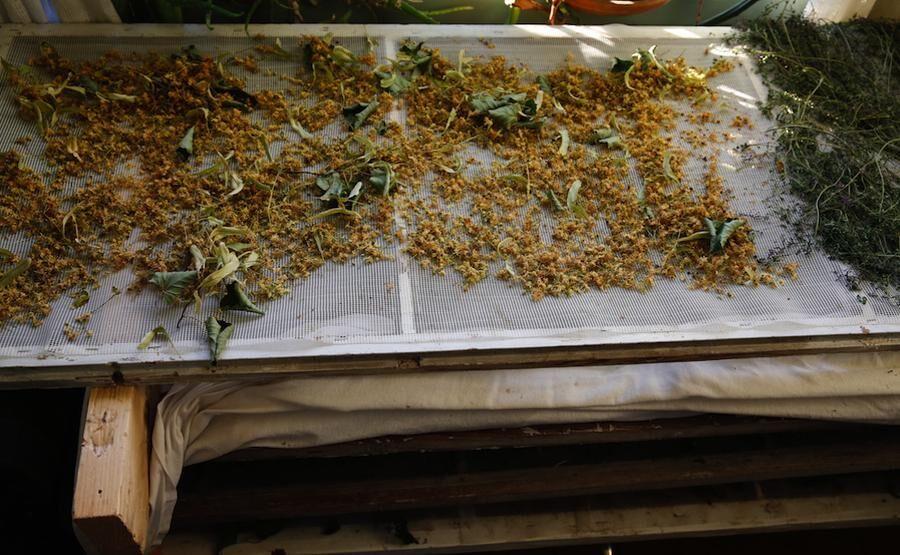 Lindblommor lufttorkas varsamt - glest utspridda för att inte mögla.