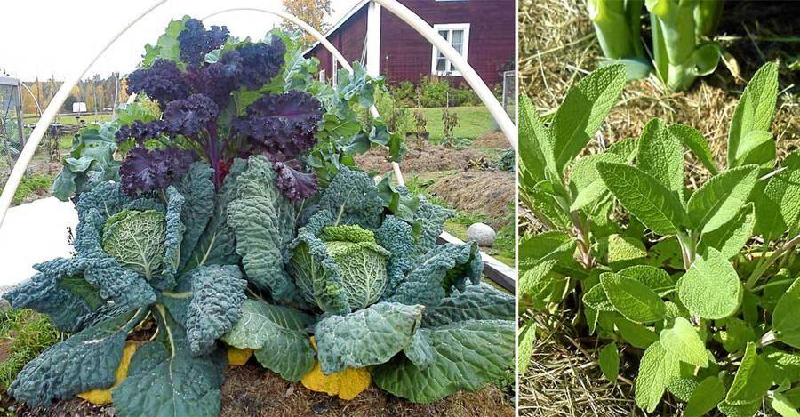 Agneta Andersson Jonsson odlar i växtzon 7 och är självförsörjande på grönsaker.
