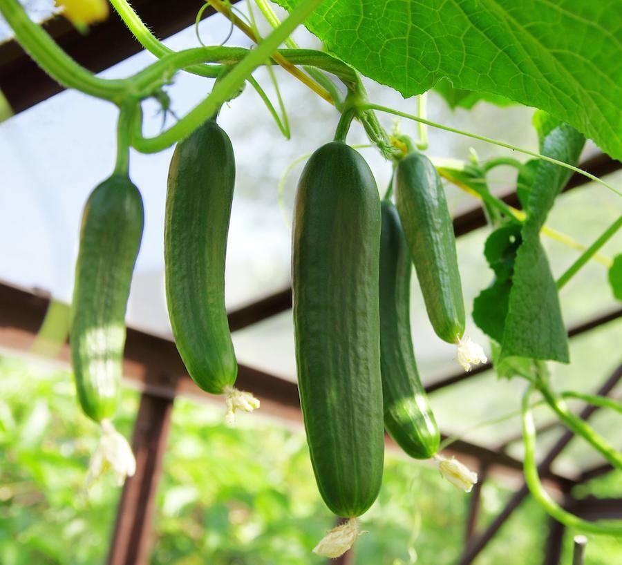 Gurka vill ha det varmt, varmare än tomater gillar. Foto: Istock.