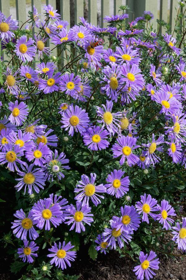 Ettåriga 'Morfars aster' blommar i lila och rosa och lockar till sig mängder av fjärilar Foto: Agneta Bergström