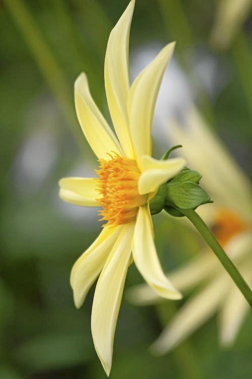 Orkidévariant. 'Honka' gul är en orkidéblommande stjärndahlia, som sorterar under diversedahlior. Hon blir 100 centimeter hög och blommar från juli.