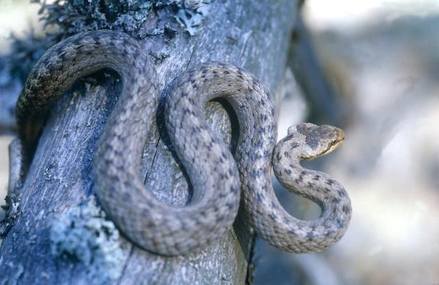 Hasselsnoken har rund pupill, liksom vanlig snok. Bandet av fläckar på ryggen kan misstas för huggormens sicksackband.