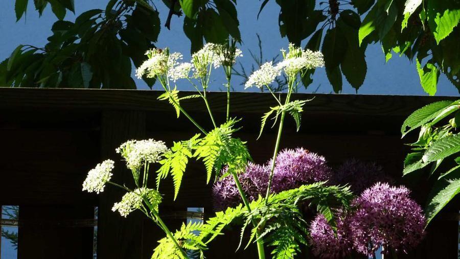 11 vilda växter som är goda i salladen.