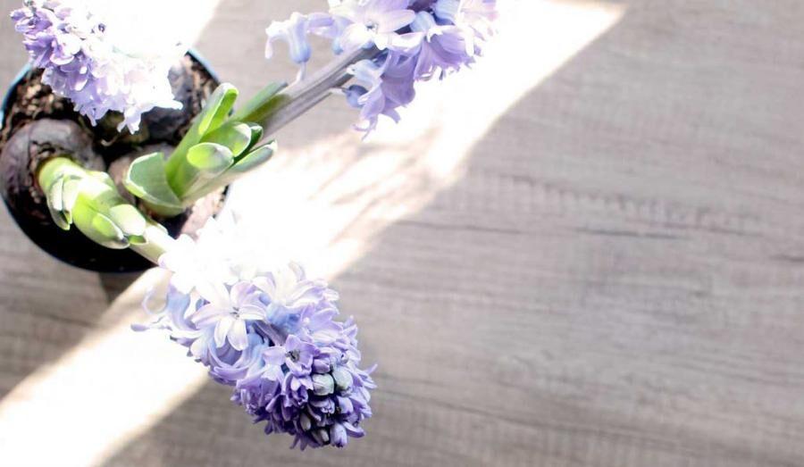 5 tips som får hyacinten att blomma längre.