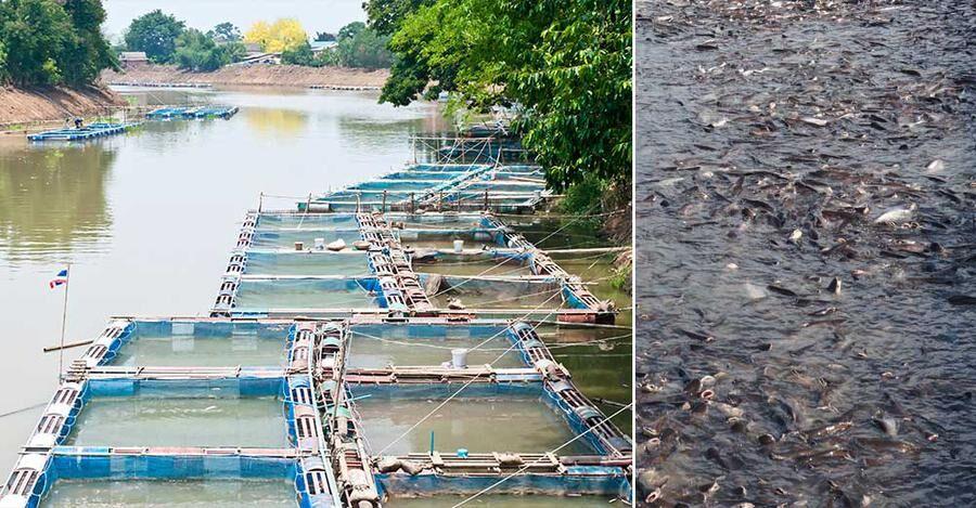 Thailändsk fiskodling, till höger hajmalar. Köttet från fisken säljs i Sverige som Pangasius.