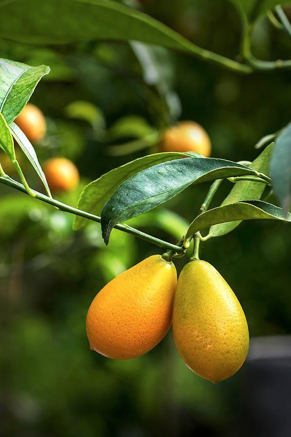 c-kumquat