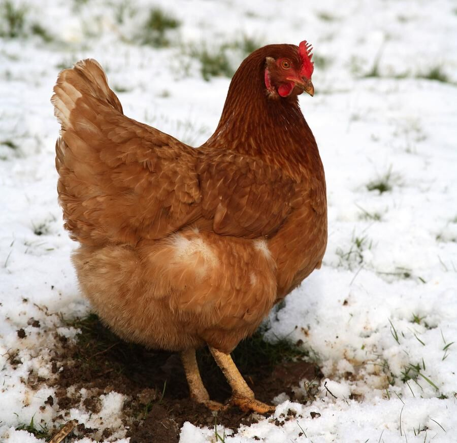 Chicken in snow winter Cornwall