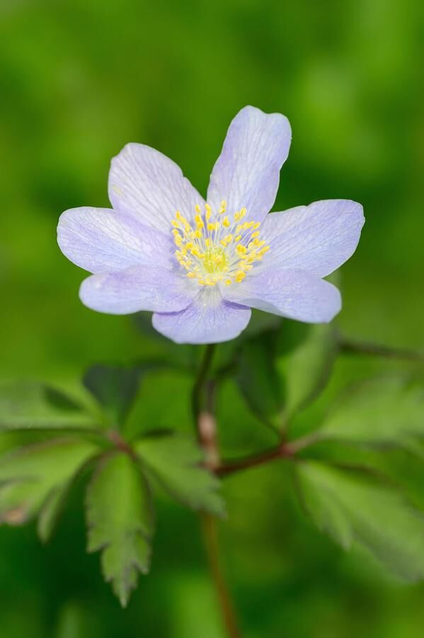 Robinsoniana wood anemone, windflower or thimbleweed (Anemone nemorosa), North Rhine-Westphalia, Germany
