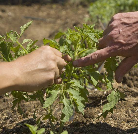 Busktomat med skrangeltendenser kan buskas till med ett knips. Foto: Istock.