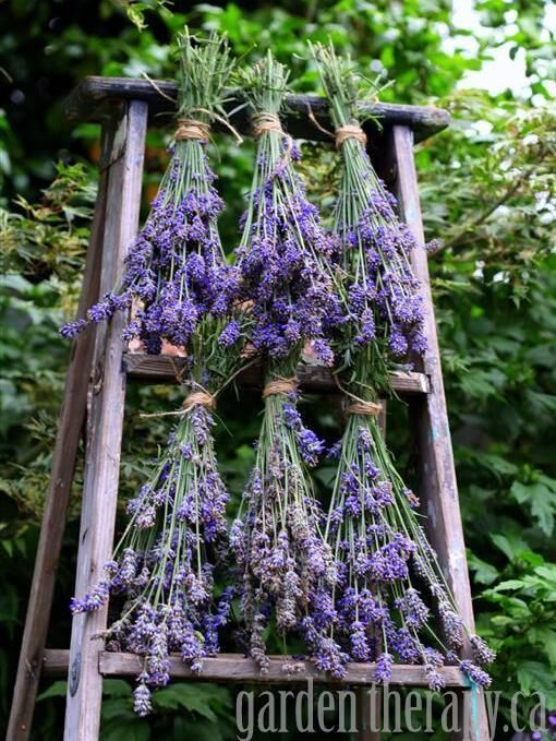how-to-dry-lavender-via-www-gardentherapy-ca.-a5