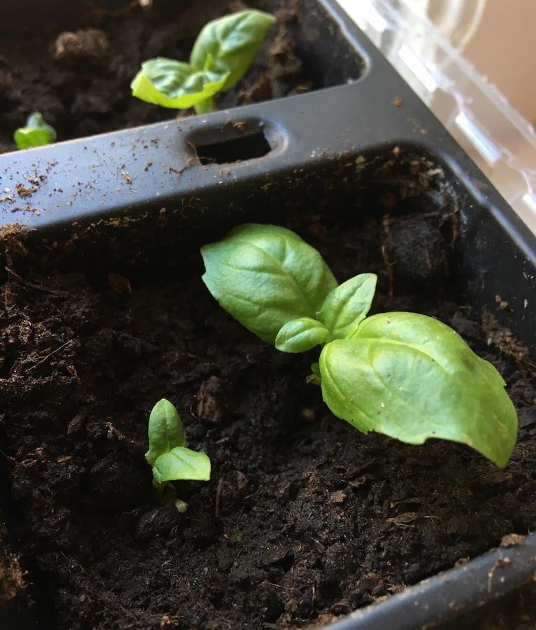Fyra nya plantor på gång. När de små skotten har minimalt med blad att försörja orkar de göra nya rötter. Foto: Kristina Bäckström