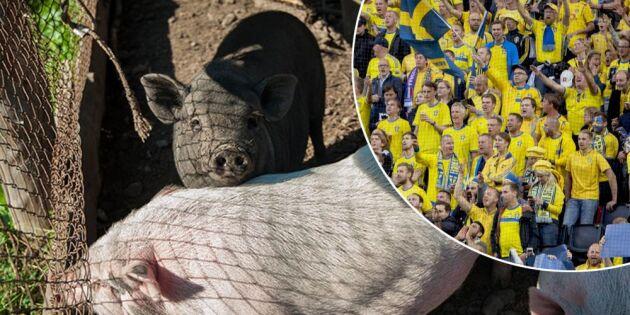 Fotbolls-VM risk för svenska grisar