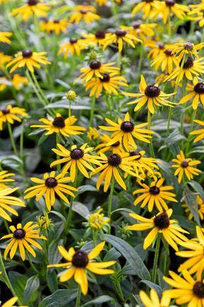 Den blomrika lilla strålrudbeckian 'Little Gold Star' passar fint i framkanten av rabatten eller planterad i kruka.