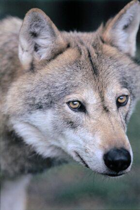Åklagaren anser sig ha bevis för att den varg som blodspåren på isen kom från är död.
