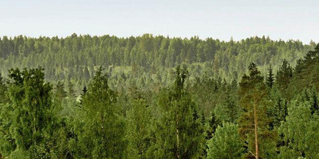Metsä börjar med blandföryngring