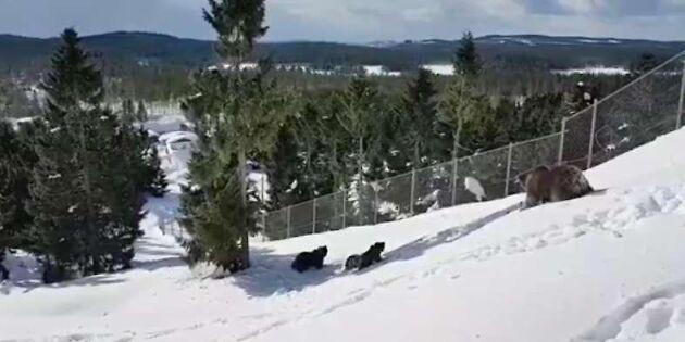 Kolla in björnungarnas glada vårrus i snön