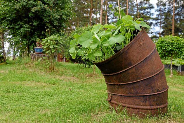 Makarna är duktiga på att hitta annorlunda dekorationer att göra planteringar och stilleben med i trädgården. Som det här rostiga röret med krasse i.
