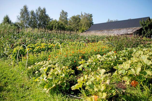 Plantorna står tätt och skördas ofta på deras intensivodling på bara 1500 kvadrat.