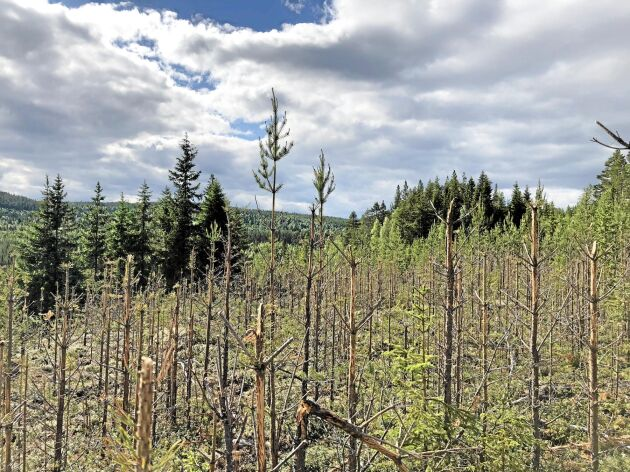 Självföryngrad tallungskog som totalförstörts av älgarnas bete (arkivbild).