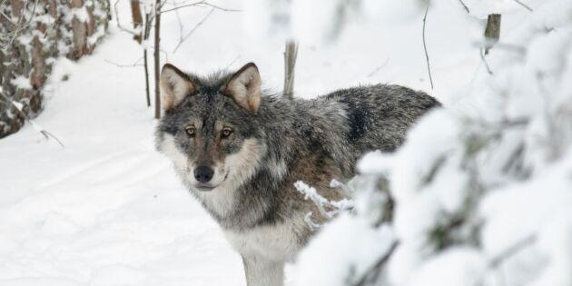 Länsstyrelsen beslutar om skyddsjakt på Tyresta-vargen
