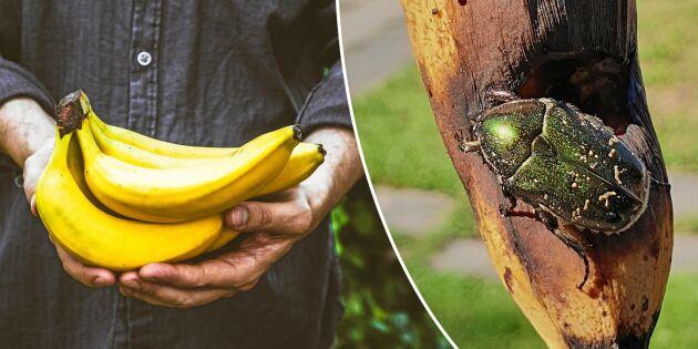 Häng upp en banan i trädgården och få spännande insektsgäster