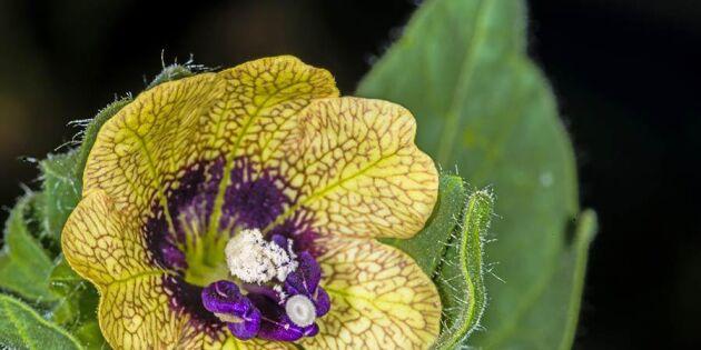 17 giftiga växter att se upp med i sommar