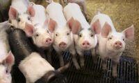 Sojastopp kan halvera gris- och fågelproduktion