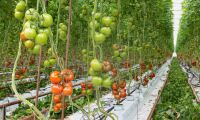 Svenska tomatodlare går minus trots rekordskörden