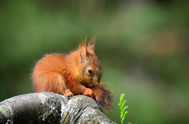 Om en liten ekorrunge klarar av att ta sig ut ur boet så klarar den också av att ta sig tillbaka upp och in.