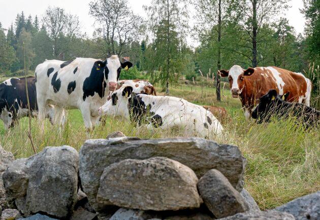 Vanligtvis kommer en grupp om tio kor per gång till Hagshult, och lika många skickas till slakt när det är dags.