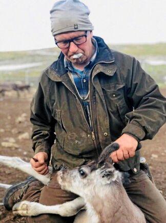 Robert Lind i färd med att märka en av sina renar.