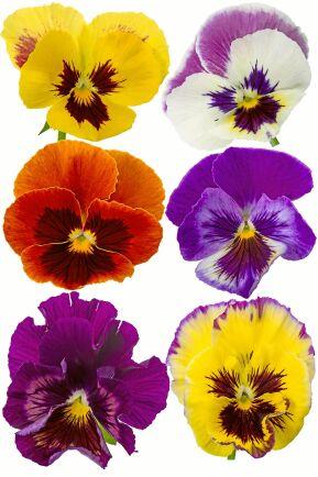 Den klassiska Viola x wittrockiana finns i massor av färger.