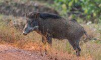 Afrikansk svinpest stoppas inte av viltstängsel
