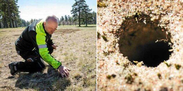 Deras golfbana räddar sällsynta och utrotningshotade bin
